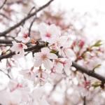 Sonyカメラα6000をレビュー!毛馬桜ノ宮公園の桜を撮ったよ!